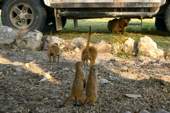 A mongoose family standing up to Bow Wow at Kalkfontein farm, Grootfontein, Namibia.