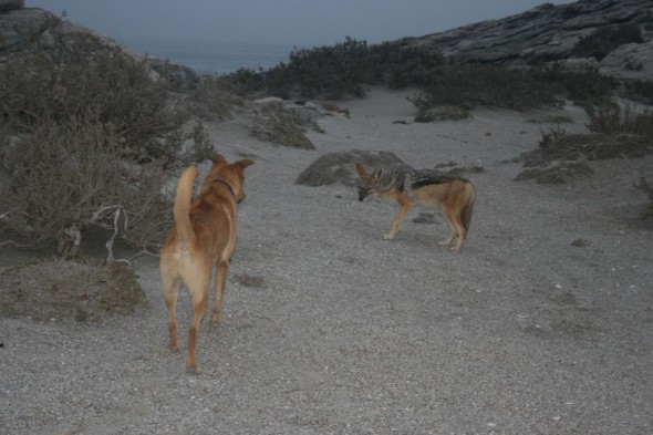 Bow Wow meets a jackal roaming around Dias Point, Lüderitz, Namibia.