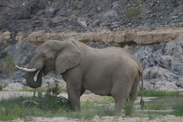 Elephant in dry riverbed at Purros, Namibia.