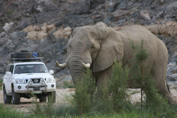 Elephant and 4x4 in dry riverbed at Purros, Namibia.