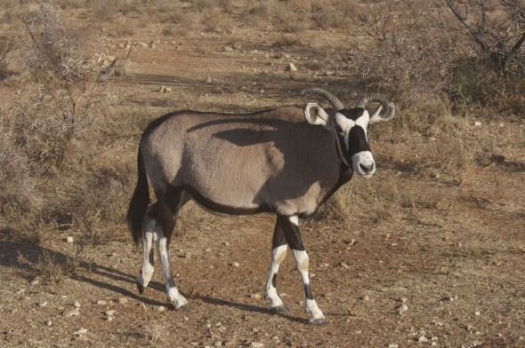 Frankie (short for Frankenstein) is a gemsbok who is convinced that he's a buffalo. Kimberley, South Africa.