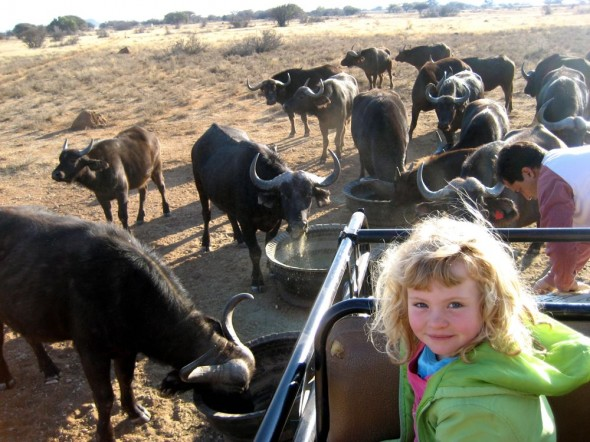 Feeding a herd of buffalo. Kimberley, South Africa.