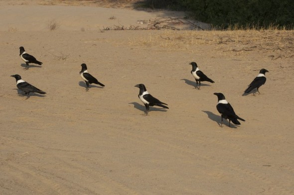 Pied Crows at Purros camp site, Namibia.