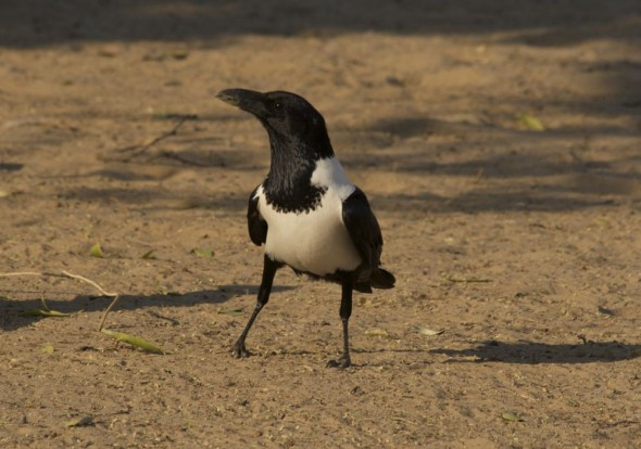 Pied Crow at Purros camp site, Namibia.