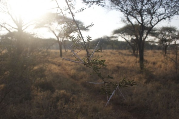 The African landscape is synonymous with Acacia trees and their thorns. Mkhaya Game Reserve, Swaziland.