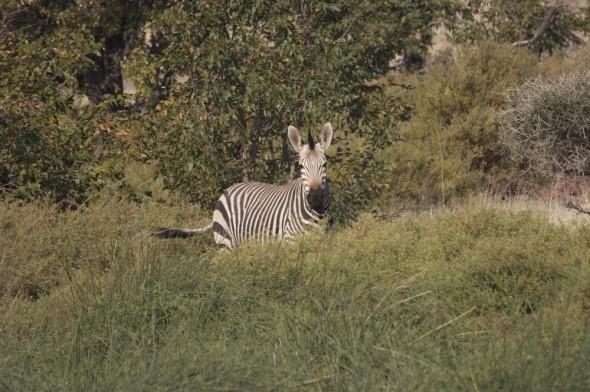 Wild Zebra near Etosha, Damaraland, Namibia.