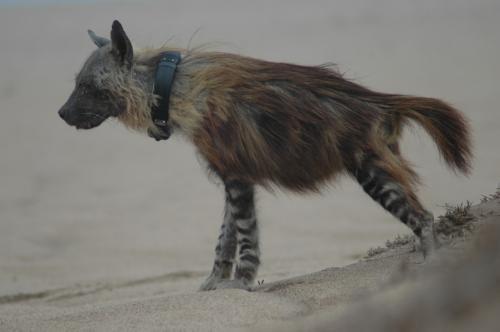 Brown Hyena, Lüderitz, Namibia.
