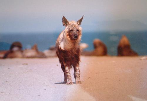 Brown Hyena with seal colony, Lüderitz, Namibia.