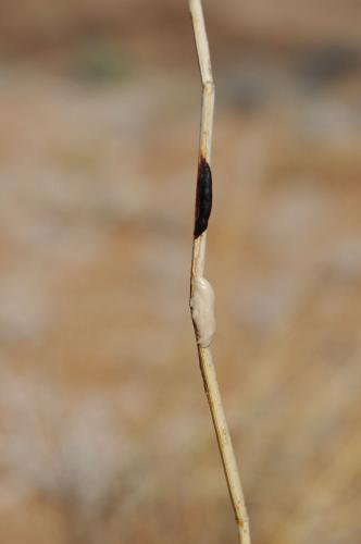 Paste mark on long grass from Brown Hyena, Lüderitz, Namibia.