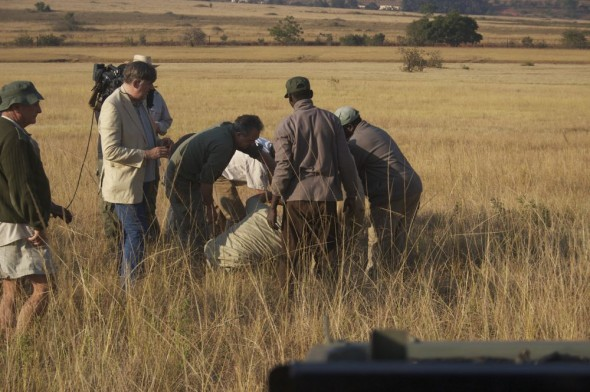 Stephen Fry and the BBC's Last Chance to See crew assist in putting plastic tubes on a sedated male Roan Antelope's horns at Mlilwane. Swaziland.