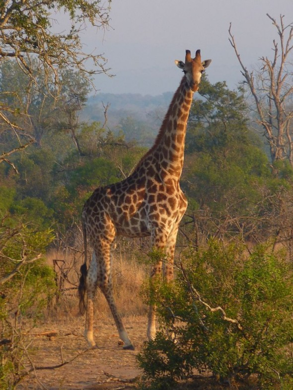 You can tell that this is a male giraffe by the hernia like protrusion on his tummy… Mkhaya Game Reserve, Swaziland.