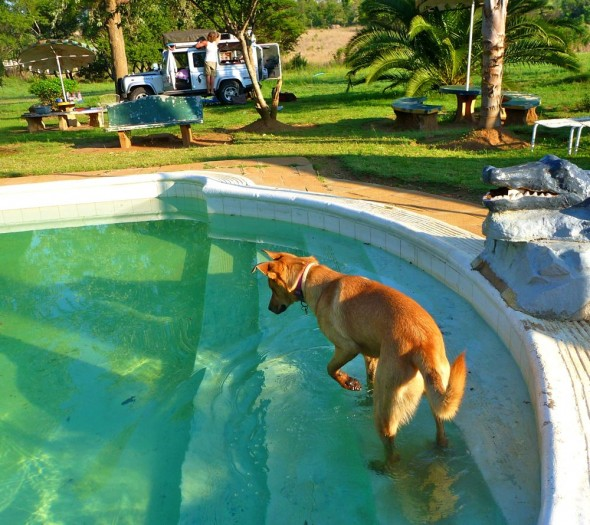 Bow Wow in pool at Crocodile Motel, Rusape, Zimbabwe.