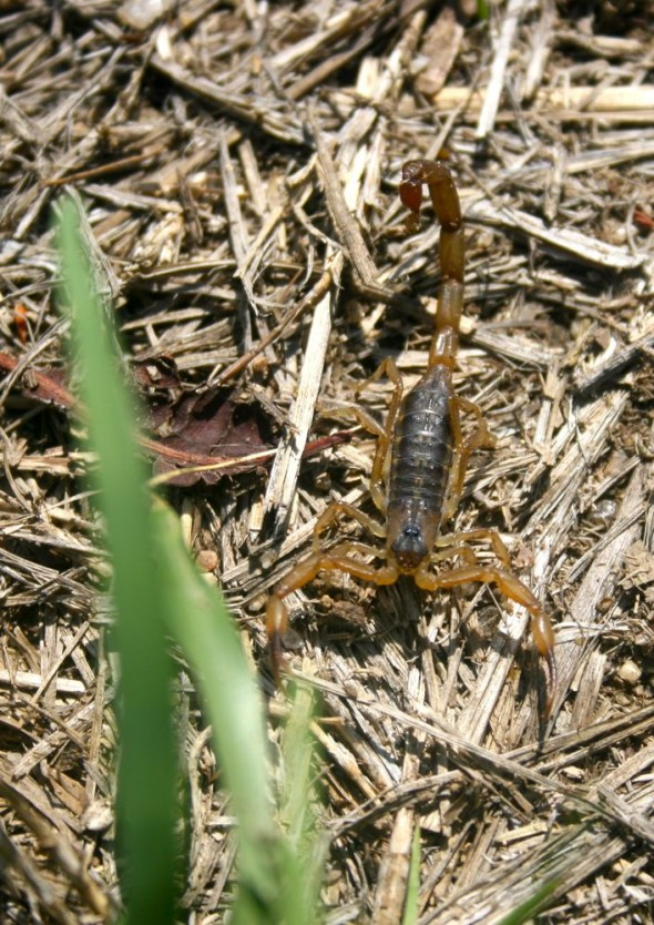 Scorpion in grass at Great Zimbabwe Ruins.