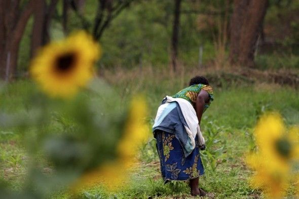 Men working on the farm with sunflowers in foreground, Harare, Zimbabwe-2