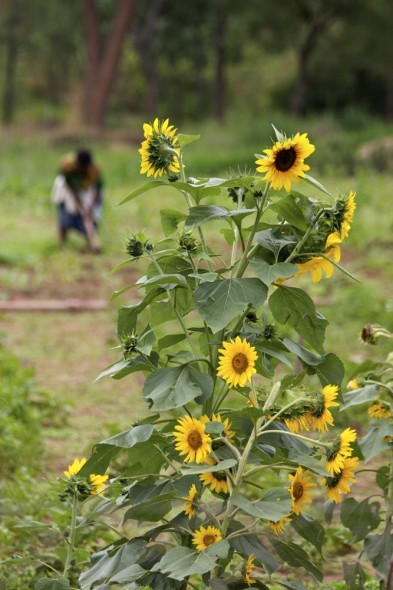 Woman working on the farm with sunflowers in foreground, Harare, Zimbabwe