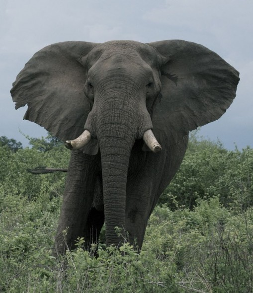 Angry elephant by Lake Kariba, Zimbabwe