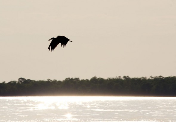 Bird flying over Lake Kariba, Zimbabwe