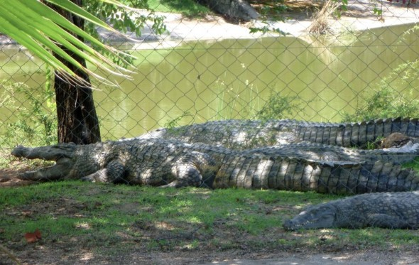 Crocodile farm, Binga, Lake Kariba, Zimbabwe