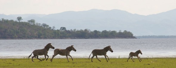 Four zebra galloping by Lake Kariba, Zimbabwe