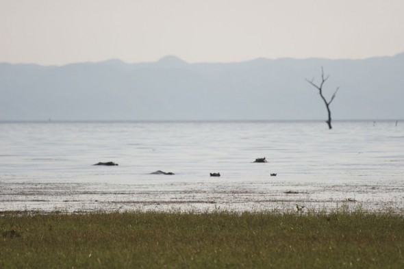 Hippos in water at Lake Kariba, Zimbabwe