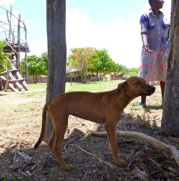 Scrawny Tonga dog, near Binga, Zimbabwe
