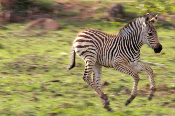 Young Zebra in field on Lake Kariba, Zimbabwe