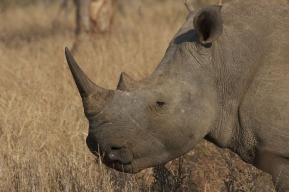 A close up of a Rhino at Mkhaya Game Reserve for Back to Africa.