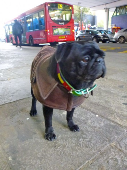 Pug dog called Missy Elliot wearing brown leather coat, Notting Hill, London