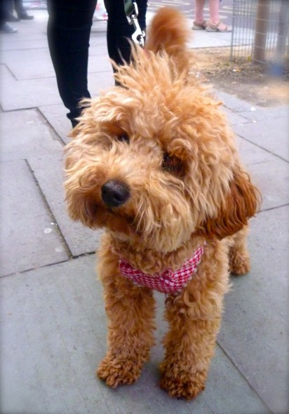 Apricot toy poodle wearing a gingham bandana, London