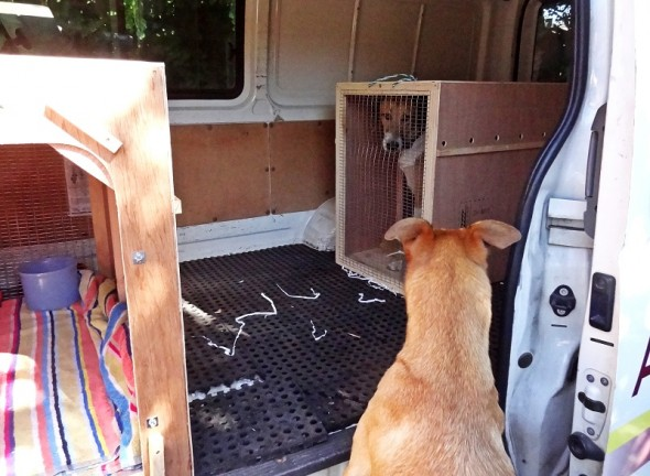 Dog, Bow Wow, looking inside Animal Travel Services van at other animals.