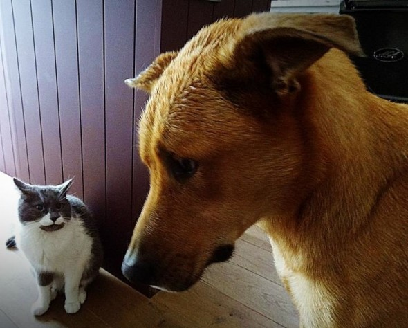 Bow Wow dog being submissive in front of Sascha cat watching bravely in Dundee, Scotland