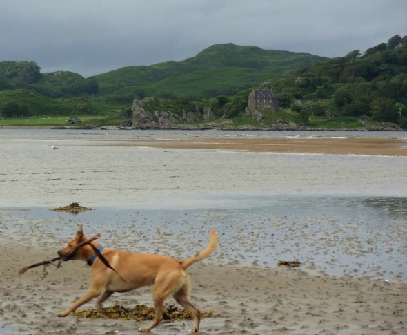 Bow Wow dog running on beach with stick in mouth crinan ferry argyll scotland