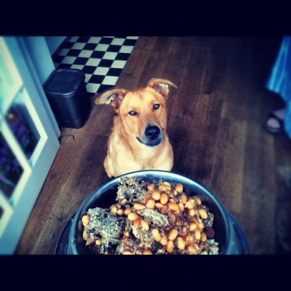 Bow Wow dog sitting in kitchen salivating for haggis and beans, dundee, scotland