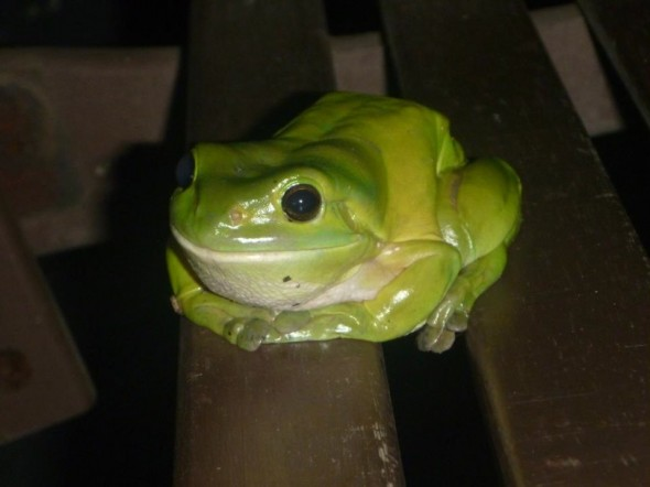 Frog toad green on our balcony in Nimbin, New South Wales in Australia.
