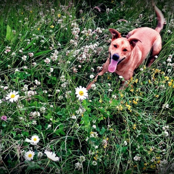 Happy bow wow dog in meadow, dundee scotland