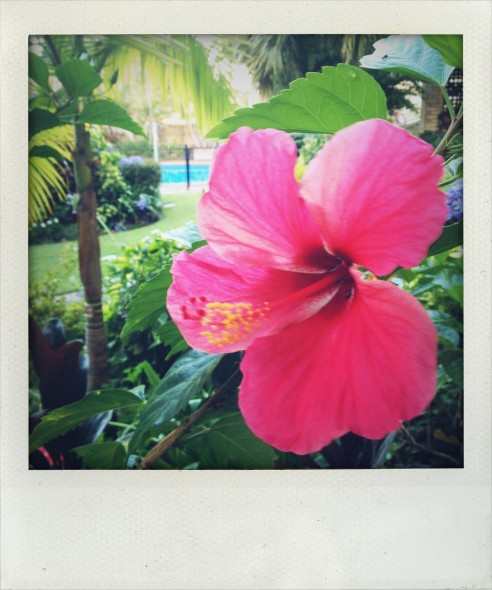 Pink Hibiscus tropical flower in Broadbeach on the Gold Coast, Australia. Taken by Miriam McWilliam.