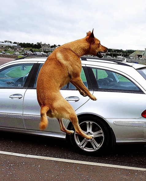 bow wow dog jumping for joy in front of mercedes car park