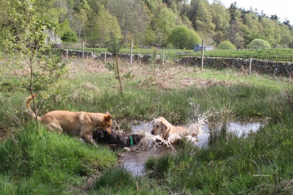 bow wow dog meeting other dogs in pond scotland taken by sheenagh mclaren