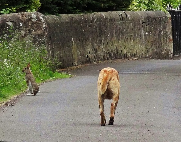 bow wow dog stalking enormous rabbit scotland