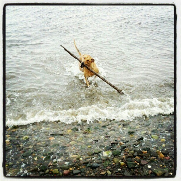 bow wow fetching massive stick from the tayport sea scotland waves