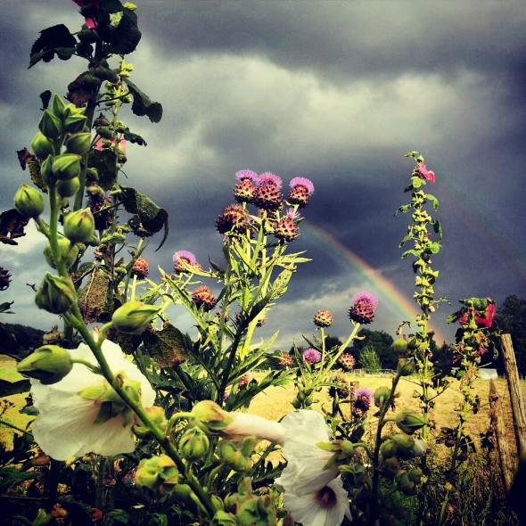 Hollyhocks and thistles with a double rainbow against a stormy sky in Surrey.